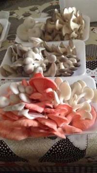 Substrato para produção de cogumelos shimeji