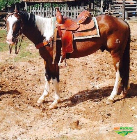Garanhão Paint Horse Registrado na ABCPaint.