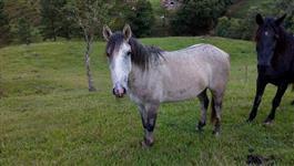 Cavalo potranco chucro, pai e mãe de pura marcha