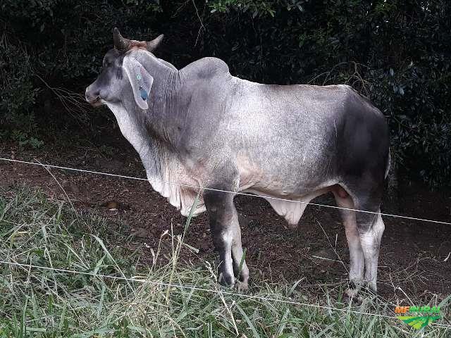 touros guzerá p.o todos com registros da abcz