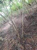 5 hectares de mandioca brava 5 km de monte alegre