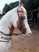 Paint horse po homozigo documentado