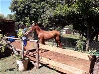 Vendo ou troco cavalo de 4 anos por pônei