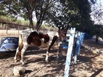 Égua Mansa 14 anos de idade ligeira e está prenha