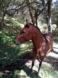 Vendo Égua filha de Mangalarga