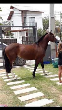 Égua crioula com doc