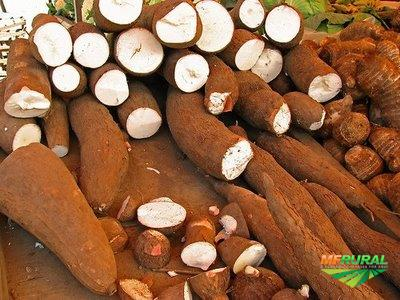 Vendo mandioca ou macaxeira ou aipim in natura GLUTEN FREE