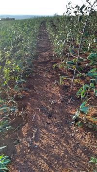 Mandioca de Mesa Amarela - Alto Paranaíba