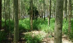 Sítio com floresta de eucalipto