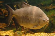 Pacu vivo entre 25 a 30 kg