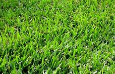 Semente de Grama Bermuda Grass