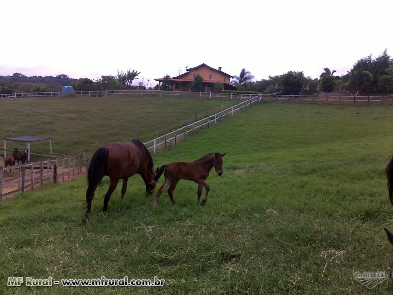 VENDA DE ANIMAIS AMERICAN TROTTER