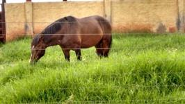 Cavalo super dócil, ideal para crianças