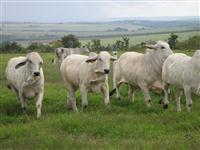 Vacas Brahman Registradas