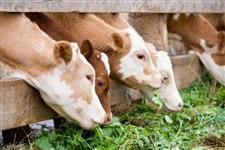 Semente de moringa oleifera para alimentação animal