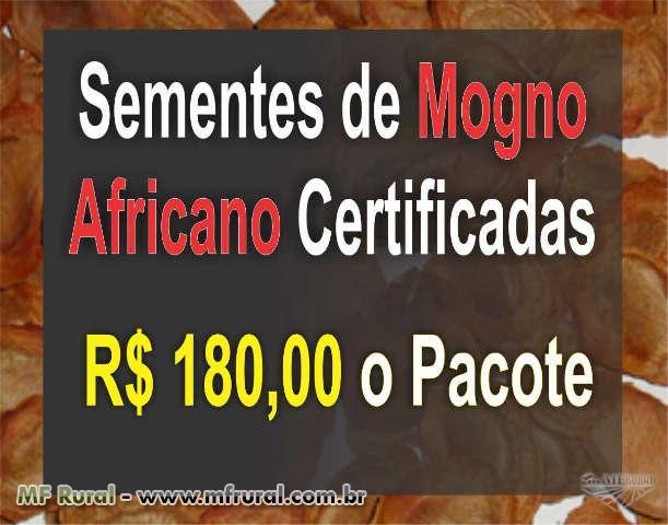 Semente de Mogno africano espécie khaya senegalensis