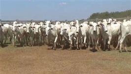 Vacas Amojando Solteiras