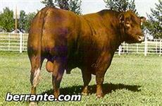 SÊMEN RED ANGUS - COPPER ROB-LCHMN COPPER RED