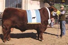 Sêmen de touro Red Angus - QUEBRACHO-TRÊS MARIAS