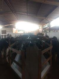 Vacas Giralando