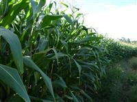 Controle biológico de lagarta no milho, soja, algodão, feijão, vespa trichograma
