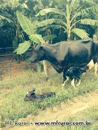 Vendo vacas novas, novilhas amojando e prontas para serem inseminadas