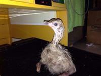 Ovos de avestruz galados