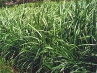 Carajás - Pennisetum purpureum x Pennisetum glaucum - MATSUDA