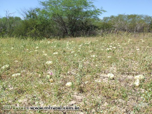Semente de Melancia Forrageira  (melancia selvagem africana)