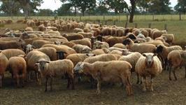Vendo um lote ovelhas para recria e engorda