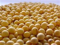 Soja em grãos ensacado ou a granel