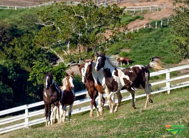 Cavalos Manga larga e Árabe a venda