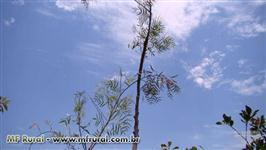 Mudas de árvores nativas DAP 3