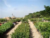 Mudas de arvores nativas para Reflorestamento, arborização urbana