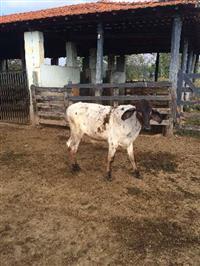 Bezerros cruzados, nelore e gir com vacas girolandas.