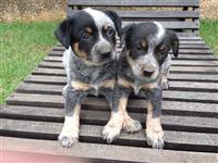 Filhotes de Blue Heeler