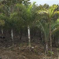Areca de locuba (Dypsis Madagascariensis)