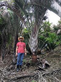 Palmeira triangular (Dypsis decaryi)