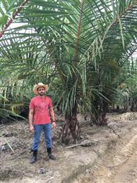 Palmeira rafia (Raphia farinifera)