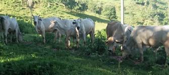 Vacas Nelore Prenhas