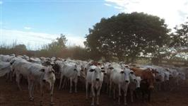 Vacas e novilhas com prenhes confirmada por ultrason, mais de 4 meses.