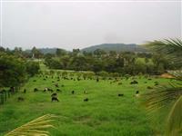 Vendo carneiros-borregos para recria ou abate - Santa Inês x Dorper
