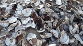 Casca de ostras