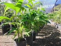 Palmeira Havaí