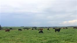 Vacas Angus PO