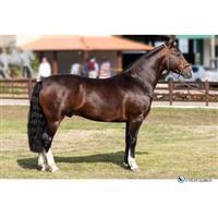 Cavalos Crioulos em SP