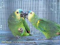 Vendo Papagaios