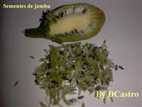 KIIT 500 SEMENTES JAMBU PARA PLANTAR OU INFUSÃO DE FLORES PARA  CACHAÇA.CONHEÇA O TREMOR DO JAMBU.
