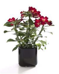 Rosa do deserto adultas com flores