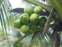 Coco Verde em Santa Catarina Frete Incluso Atacadista